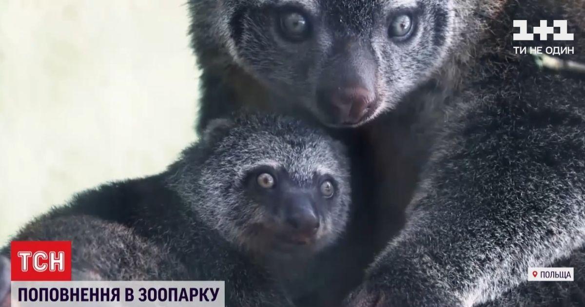 Одні з найменш вивчених тварин на планеті: у Вроцлаві показали малюка ведмежого кускуса