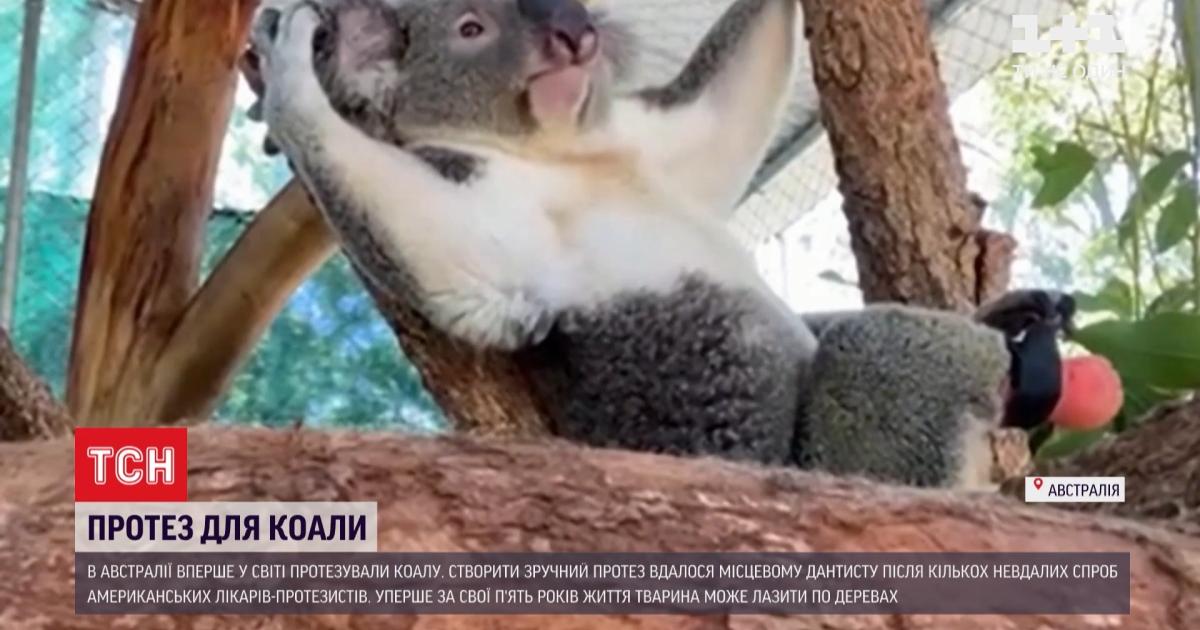 В Австралии впервые в мире протезировали коалу