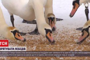 Новини України: як врятувати лебедів від морозів та чому їх не можна годувати хлібом