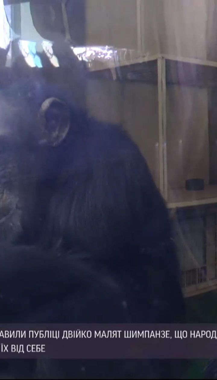 Новини України: у харківському екопарку вперше показали маленьких шимпанзе