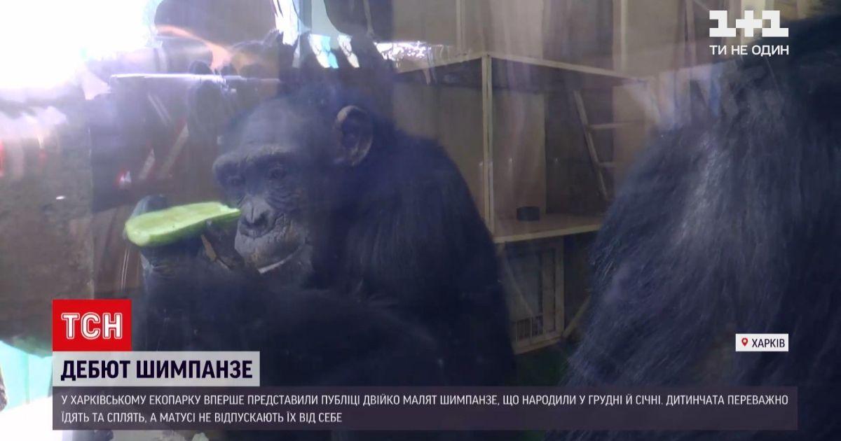 В харківському екопарку показали дитинчат шимпанзе: з'явилося відео