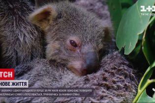 Новости мира: в зоопарке Сиднея родился первый за год малыш коалы