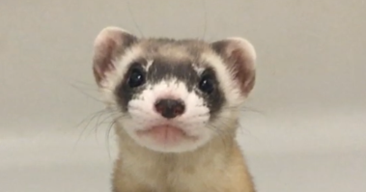 В США клонировали редкое животное, находящееся на грани исчезновения (фото, видео)