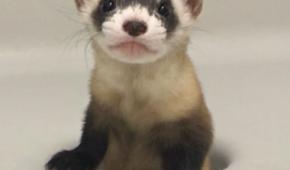У США клонували рідкісну тварину, яка перебуває на межі зникнення (фото, відео)