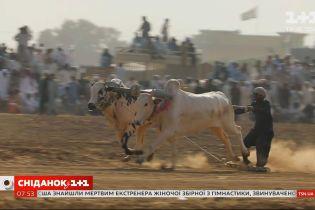 """Пакистанські перегони на биках- новий випуск проєкту """"Світ навиворіт"""""""
