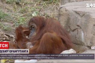 Новости мира: в зоопарке Нового Орлеана показали новорожденного орангутанга