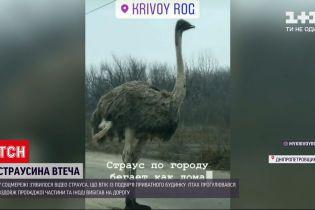 Новости Украины: среди Кривого Рога страус прогуливался вдоль проезжей части
