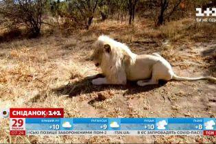 Білі леви: чому зникають та де їх можна побачити