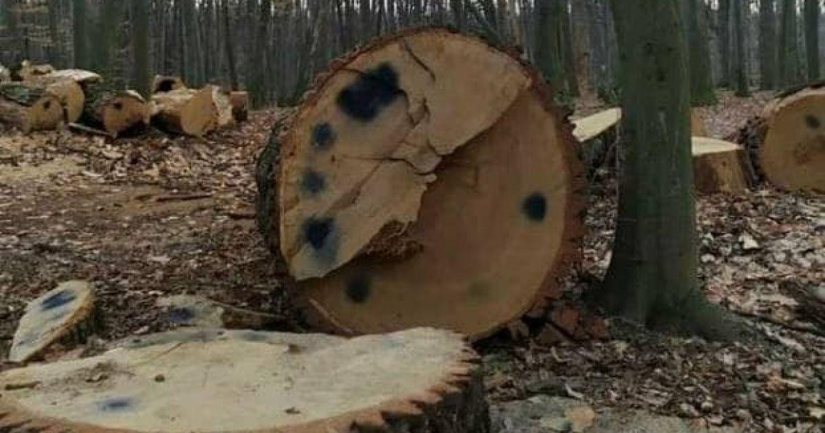 Вирубування вікових дубів у Голосіївському парку: у Києві розпочато кримінальне провадження