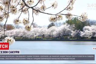 Новости мира: американцы не удержались дома в пик цветения сакуры в Вашингтоне