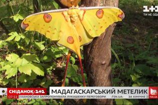 Как проживает свою короткую жизнь бабочка Мадагаскарская комета – Поп-наука