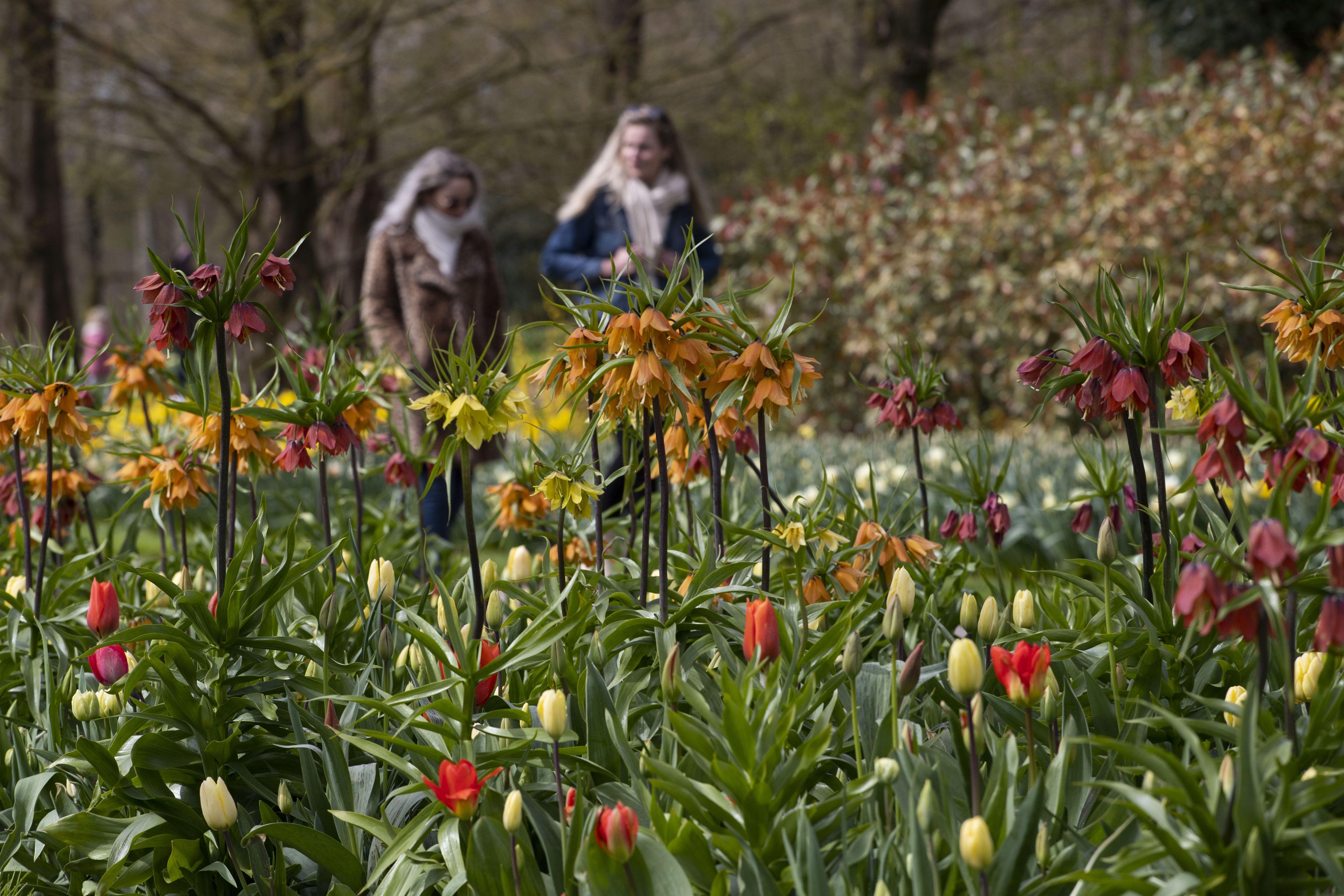 тюльпани в парку Кекенхоф_5