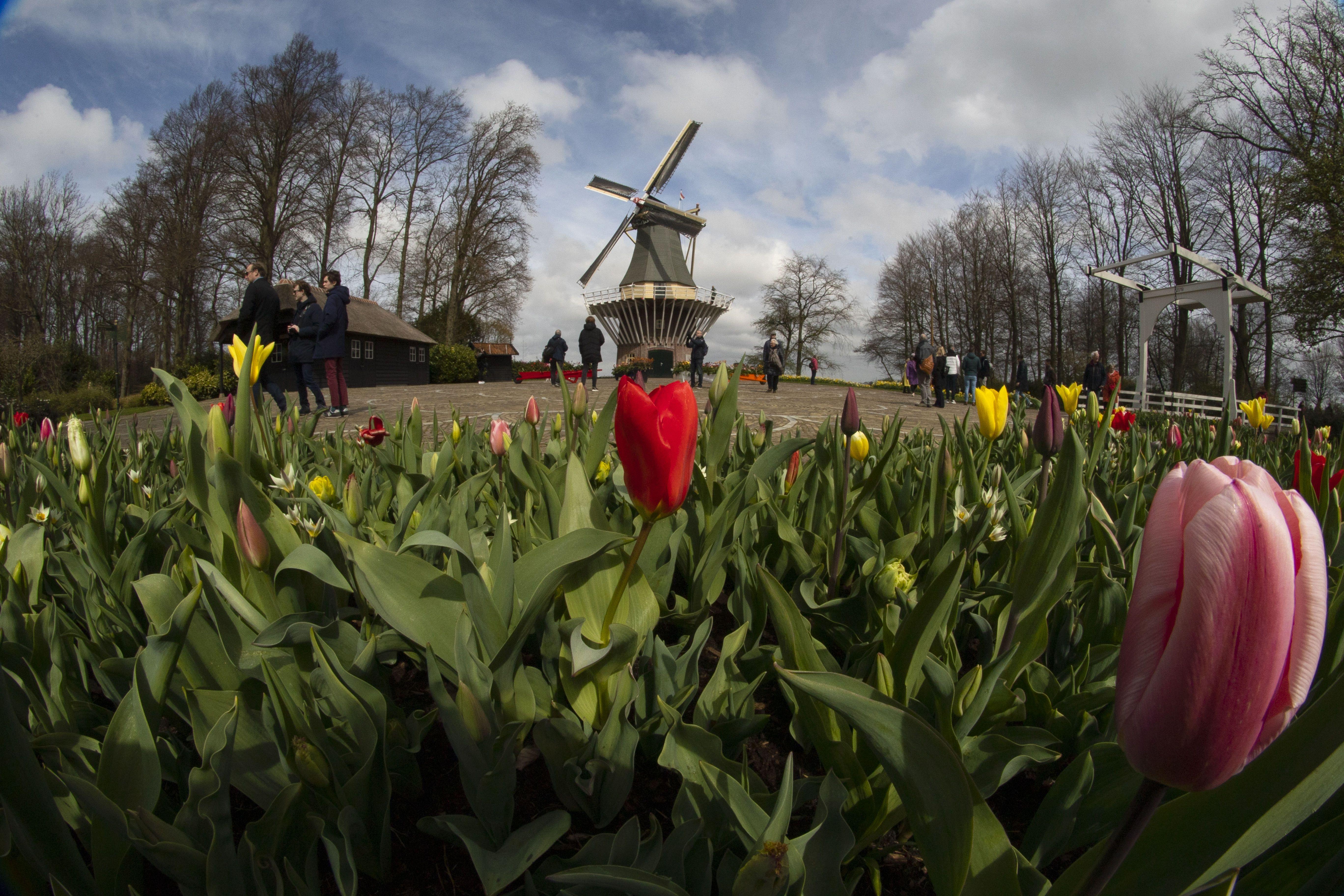 тюльпани в парку Кекенхоф_1