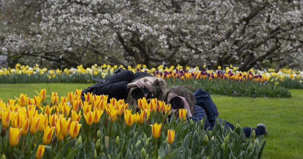 """У знаменитому нідерландському парку """"Кекенгоф"""" розквітли поля тюльпанів - фото та відео"""