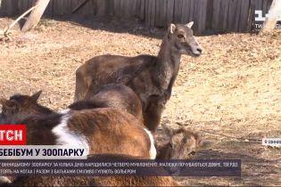 Новини України: у Вінницькому зоопарку за кілька днів народилися четверо муфлоненят
