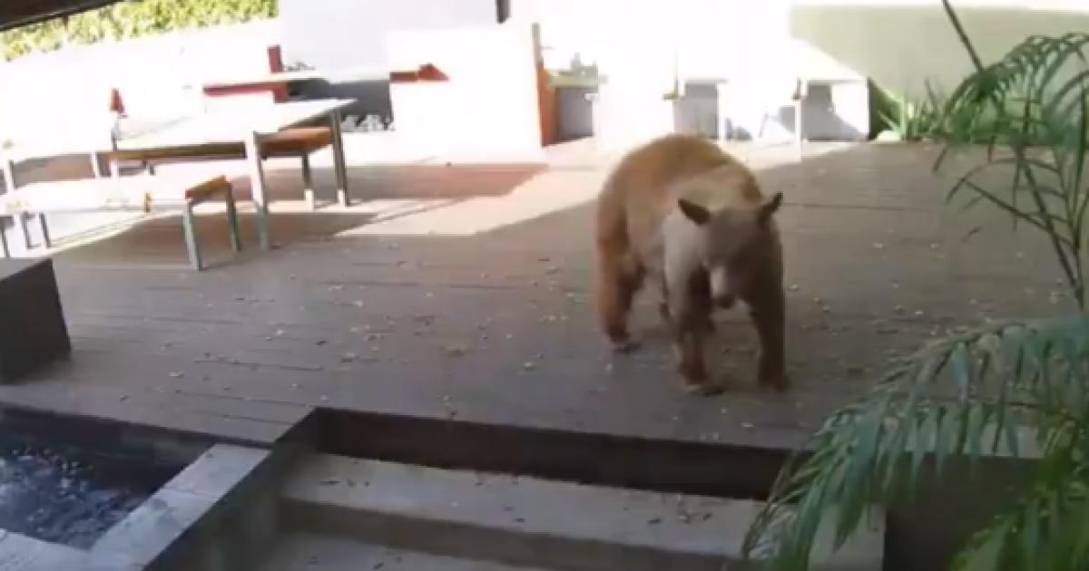 У Каліфорнії два маленькі песики героїчно протистояли великому ведмедю: той вдерся у будинок