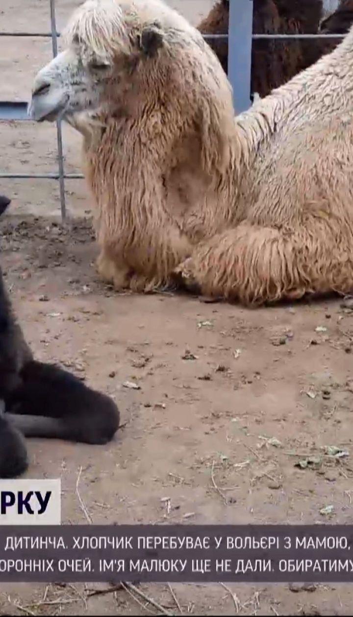 Новини України: в Одеському зоопарку народилося дитинча двогорбих верблюдів