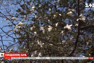 В Киеве расцвели первые магнолии: как попали в Украину цветы-экзоты