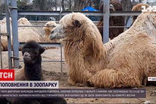 Новини України: в Одеському зоопарку у двогорбих верблюдів народилося дитинча