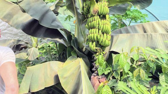Бананова ферма Львівщина