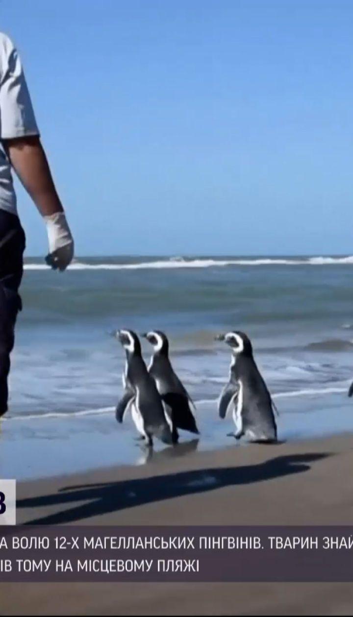 Новини світу: аргентинські рятувальники випустили на волю 12 пінгвінів після реабілітації