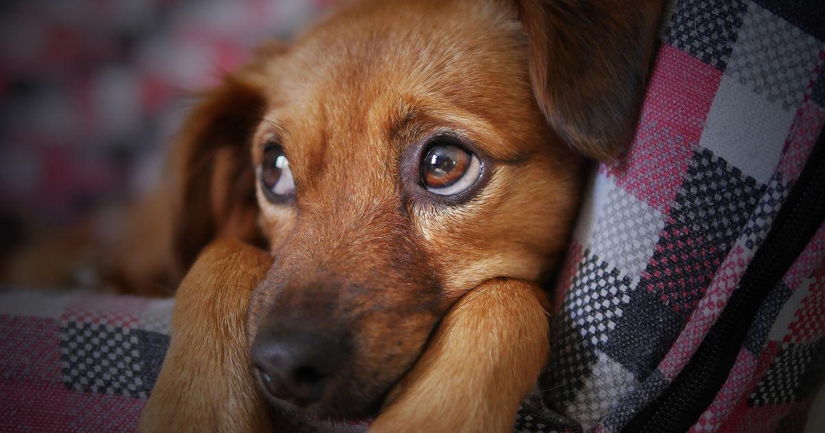 Рили носом землю під парканом, щоб врятуватися: у Вінницькій області шкуродери жорстко вбили трьох собак