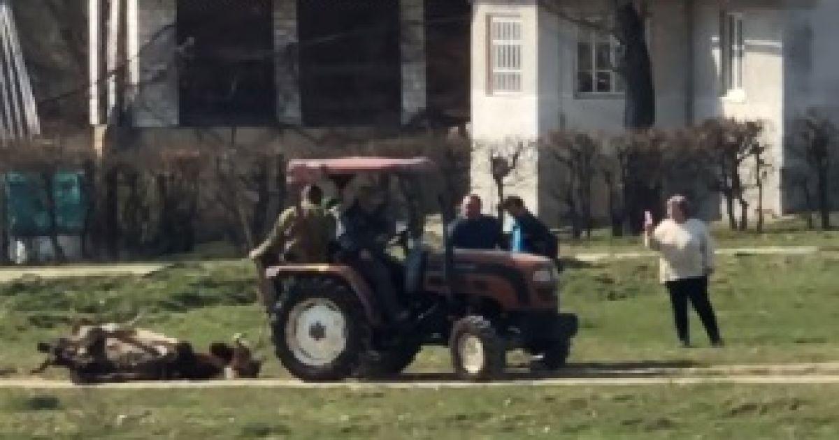 """""""Варвари у XXI столітті"""": біля Львова двоє чоловіків тягнули мертву корову через усе село (відео)"""