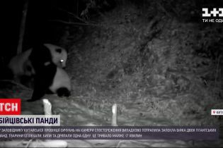 Новини світу: у китайському заповіднику дві панди влаштували бійку
