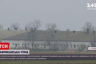 Новини України: на Буковині утилізують понад 20 тисяч свиней через спалах африканської чуми