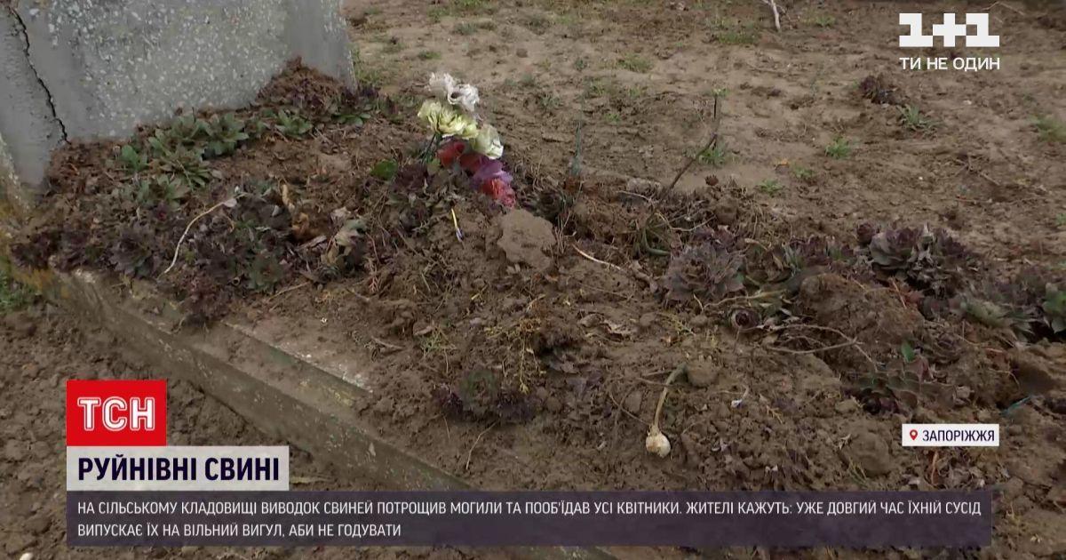 В Запорожской области свиньи перерыли местное кладбище: жители пожаловались на владельца