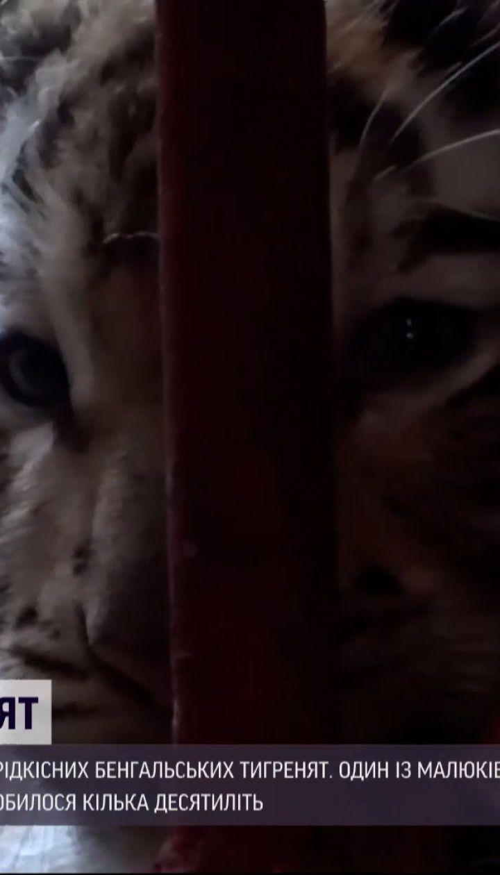 Новини світу: у кубинському зоопарку народилися одразу 4 бенгальських тигри
