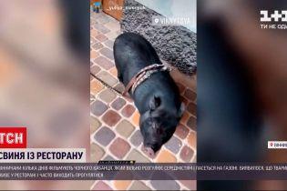 Новости Украины: по улицам Винницы бегает черный кабан, который живет в местном ресторане
