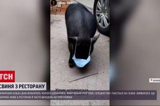 Новини України: вінницька свиня стала зіркою Інтернету