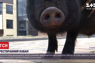 Новости Украины: винницкий кабан, который свободно разгуливает по городу, взорвал соцсети