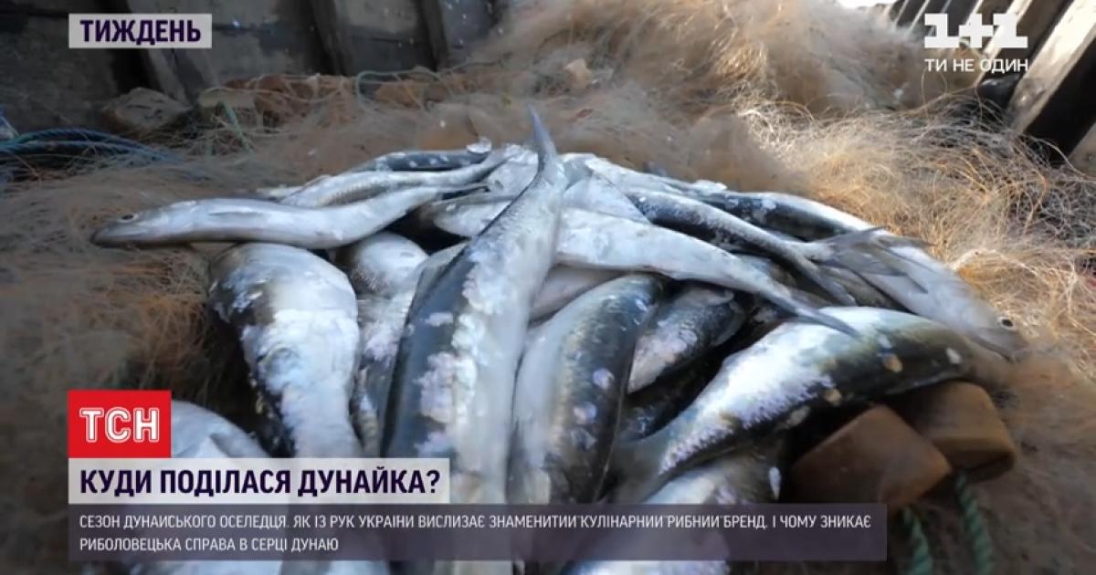 Українські оселедці: чим унікальна дунайка, де її ловлять, скільки заробляють і за скільки продають