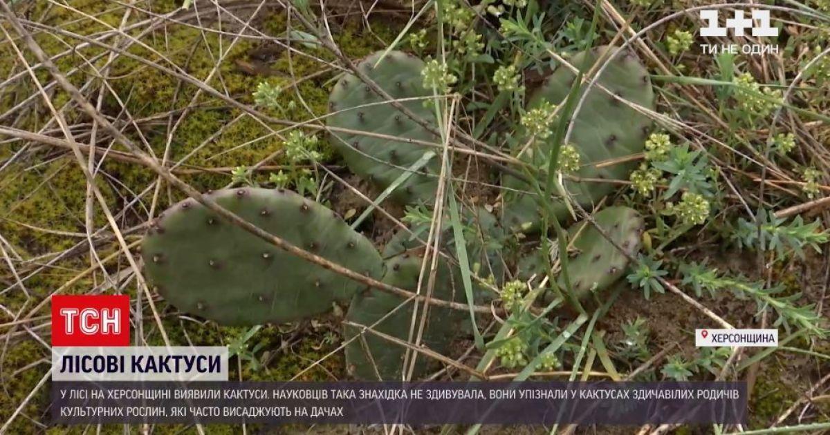 У Херсонській області посеред лісу виявили кактуси: як вони там опинилися і чим це загрожує