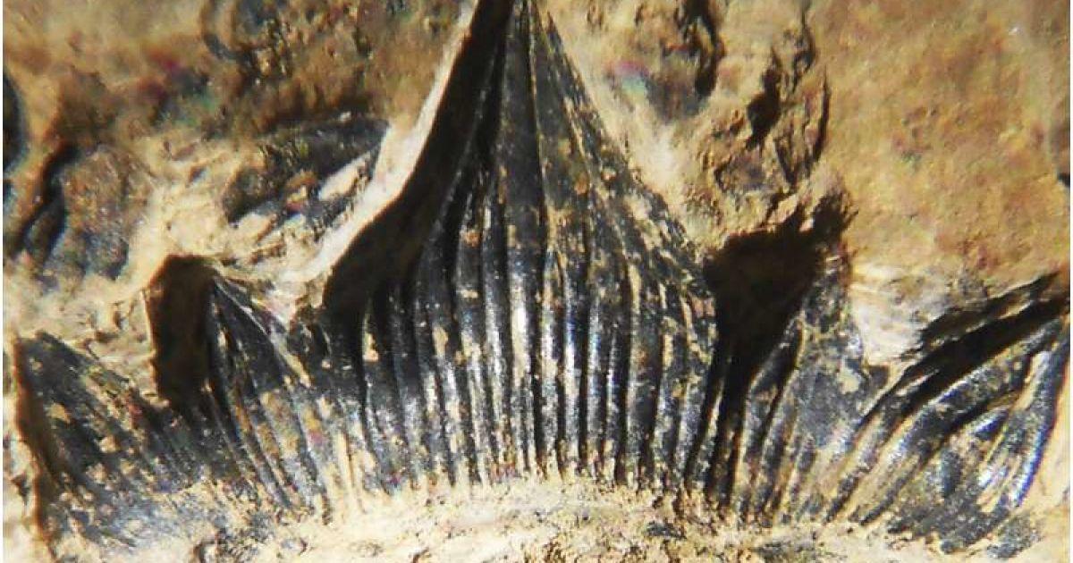 Ученые обнаружили останки очень большой акулы, которая существовала 300 млн лет назад