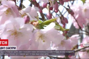 Новини України: у Вінниці розквітли сакури