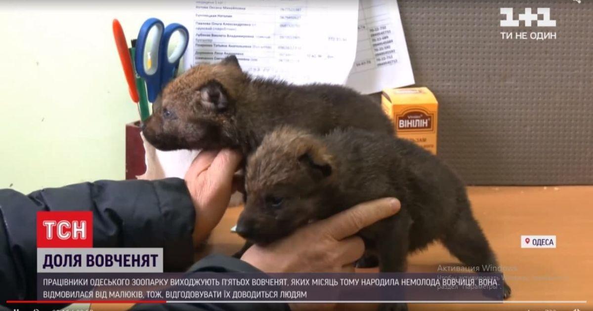 У Одесі рятують п'ятьох вовченят, яких покинула мати