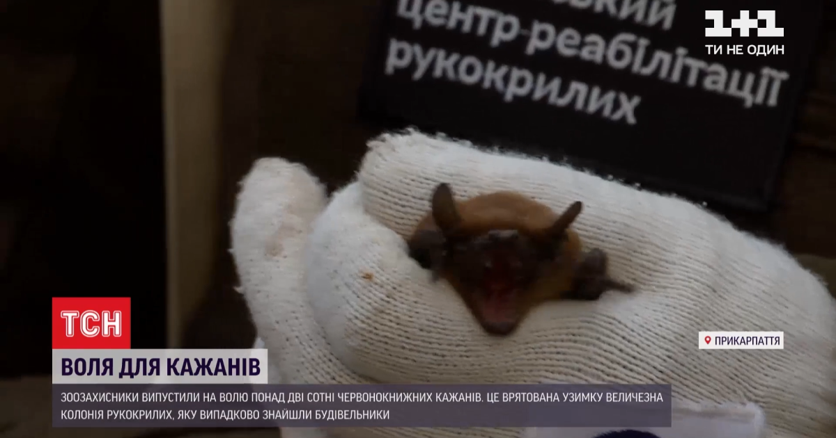 У Франківську зоозахисники випустили понад 200 червонокнижних кажанів, яких врятували взимку