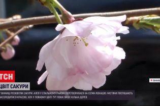 Новини України: у спальному районі Вінниці розквітли перші японські вишні