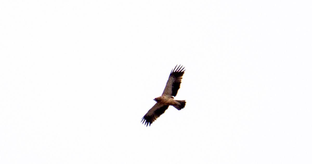 В заброшенном селе возле ЧАЭС заметили самого маленького в мире орла: фото