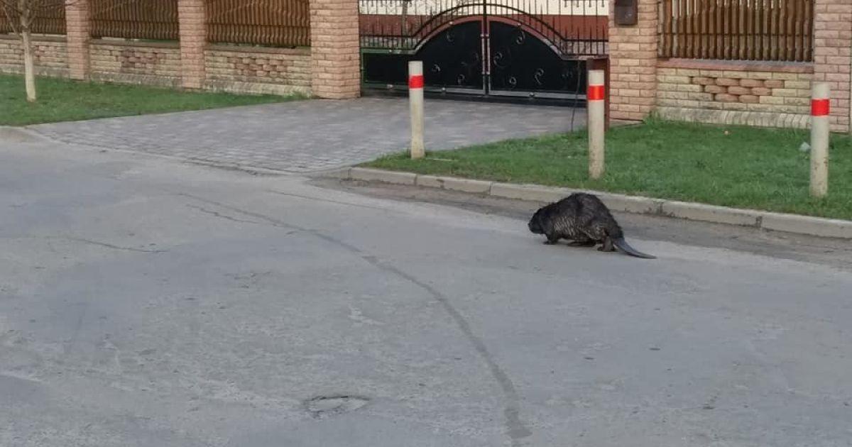 Вийшов на прогулянку: у Волинській області посеред міста помітили бобра (фото)