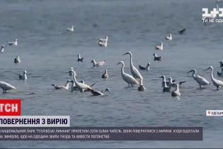 """Новини України: до """"Тузлівських лиманів"""" з теплих країв повернулися білі чаплі"""