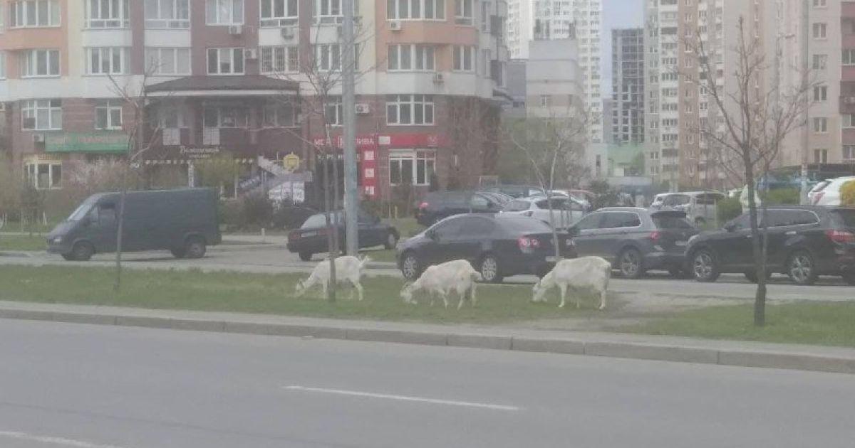 Шукали їжу серед припаркованих машин: у Києві біля багатоповерхівок помітили кіз (фото)
