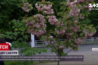 Новини України: у Херсоні розквітла алея сакур