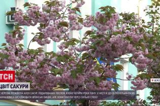 Новости Украины: в Херсоне расцвела аллея сакур, которые подарил посол Японии