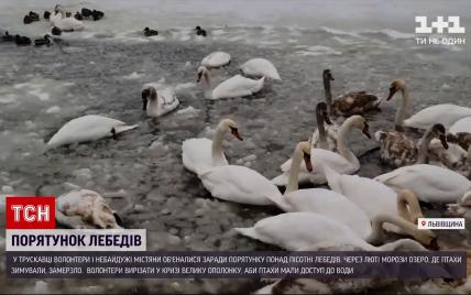 Не дали погибнуть: во Львовской области волонтеры спасли более полсотни лебедей (фото, видео)