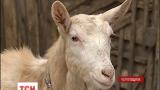 Чого чекати від року дерев'яної кози