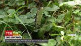 Новини України: гадюки атакують – у Рівненській області вже 6 людей вкусили отруйні змії
